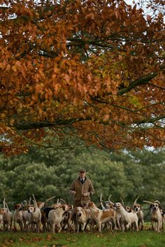 Hound exercise in Autumn. Autumn hunting will soon begin!
