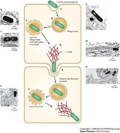Mecanismo de ingreso de la #listeria #monocytogenes Listeria monocytogenes