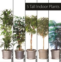Thinking of adding plants to your space? Here's 5 Tall Indoor Plants - http://www.ambius.com/blog/5-tall-indoor-plants/