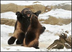 Wolverine Animal Pictures picture