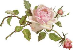 AmaZinG-LonG-STeM-KLeiN-CaBbaGe-RoSe-ShaBby-WaTerSLiDe-DeCALs