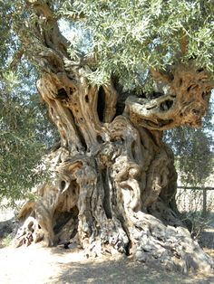 "Monumental-olive-tree-Italy ""See any snakeheads? Weird Trees, Giant Tree, Unique Trees, Old Trees, Tree Trunks, Tree Photography, Fig Tree, Nature Tree, Tree Forest"