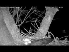 This video shows the Pittsburgh Hays bald eagle nest blowing down on 2/12/2017 in a strong wind storm. The female you can see the female fly off to safety as...