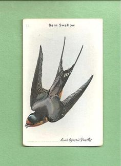 Barn Swallows Study By Twapa On DeviantArt