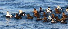 Google Image Result for http://www.nature-shetland.co.uk/naturelatest/pics06/King%2520Eider%2520Brydon3.jpg