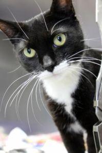 "Adult Female Cat - Domestic Short Hair: ""Lasagna Einstein"" - Halifax Cats & Kittens For Sale - Kijiji Halifax Canada."
