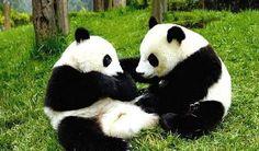 #playful #pandas                                                                                                                                                      Más