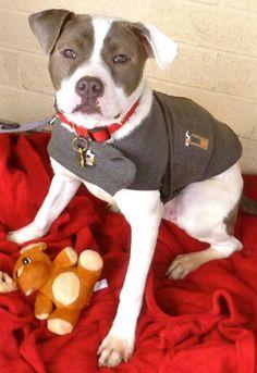 BuzzPetfinder Adoptable | Dog | Pit Bull Terrier | Linden, NJ | Buzz