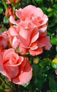 Экзотические Цветы, Свежие Цветы, Весенние Цветы, Розовые Цветы, Фиолетовые Розы, Красные Розы, Красочные Цветы, Гибридные Чайные Розы, Желтые Розы