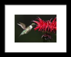 Male Ruby-throated Hummingbird With Red Flower Framed Print By Christina Rollo