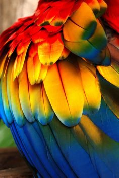 Scarlet macaw shoulder (wing) feathers. They are very similar to the green wing macaws, but are lacking in the green wing feathers and have a broader band of yellow.