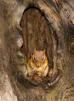 Chipmunk by agilityfoot, via Flickr