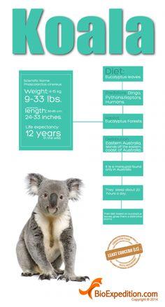 Koala (Phascolarctos cinereus) is a cute marsupial native to Australia. Koala Baby, Baby Otters, Fun Facts About Koalas, Australia Fun Facts, Australia Crafts, Koala Costume, Baby Animals, Cute Animals, Baby Giraffes