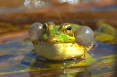 Anfibios. Foto de rana verde común, cantando mostrando sus caracteristicas bolsas de aire. Pelophylax perezi.