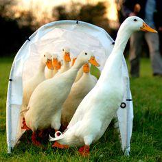 German Pekin Ducks. A European breed of domestic duck. Photo by Johnny Jet from Southampton UK Flickr