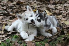 husky puppys