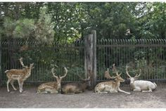 Deer sit in Marineland's deer park last July. An investigation of Marineland and its animals has been a testing ground for the OSPCA, which ...