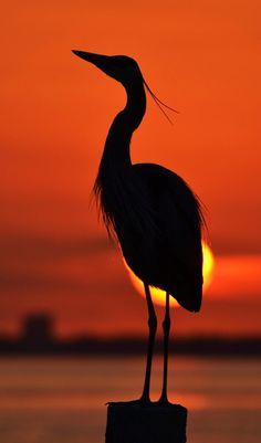 Great Blue Heron silhouette - ©Michael Fitzsimmons (via 500px)
