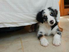 His favourite spot  #bordercollie #bluemerletricolourbordercollie #bluemerle #blueeyes #dog #puppy #puppies #pup