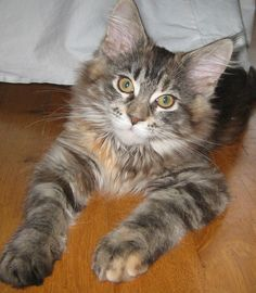Little Maine Coon