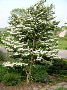 Full size picture of Doublefile Viburnum, Japanese Snowball Bush 'Summer Snowflake' (Viburnum plicatum var. tomentosum) - Per Mona at Pine Hill, these are a good choice for the WH, low maintenance and deer don't eat them