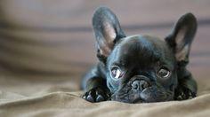 Petit chien aux allures de molosse féroce, le Bouledogue français ne se lasse pas de séduire, tant par son physique que par son caractère. Joyeux, joueur, mais aussi très doux, il est un compagnon parfait pour les enfants, comme pour ...