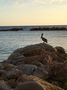 Pelican @ Mambo beach Curacao