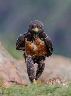 Un aigle se promène- This eagle is thinking, pondering.walking meditations are always good to clear the mind. All Birds, Birds Of Prey, Love Birds, Pretty Birds, Beautiful Birds, Animals Beautiful, Animals And Pets, Funny Animals, Cute Animals