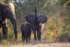 Inquisitive Elephant - Burrard-Lucas Photography