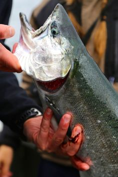 sockeye salmon, sitka, alaska