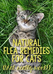 Every cat lover knows how annoying fleas can be, both to themselves and to the cat. However, some cats do not react well to synthetic chemicals touching their lovely fur. Instead, consider using safe, natural remedies. You need never again use a commercia Natural Flea Remedies, Cat Fleas, Cat Behavior, Crazy Cats, Pet Care, Cats And Kittens, Cats Bus, Fur Babies, Cat Lovers