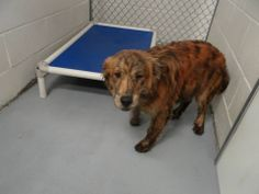 SHARE/PLEDGE/PIN/ADOPT/FOSTER/RESCUE   ((SUPER URGENT)) **MUST BE RESCUED/ADOPTED BY **3:45PM ON TUES-11/19/13** (Pen#10) Beautiful male brindle GOLDEN RETRIEVER at Harnett County Animal Shelter in Lillington, NC. 910-814-2952 (just outside Raleigh,NC) This sweet boy will be even more gorgeous after a bath! PLS help save/rescue/adopt him & give him a chance to have proper love & care in a furever home. HURRY, HIS TIME IS RUNNING OUT!!!
