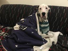 Há dias em que só apetece ficar enroscadinho no sofá ... 😉  #4EveryPet #PetSitting #Dalmata #Cooper #Curia