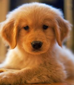 Oliver the Golden Retriever... this puppy grabs my heart!