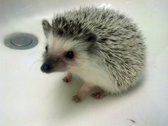 #hedgehog