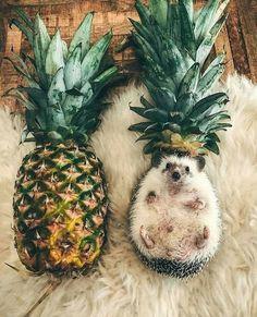 Igel scheinen die neuen Haustiere zu sein, wie hoch der Kuschelfaktor ist, kann keiner sagen oto: M R. Baby Animals Super Cute, Cute Little Animals, Cute Funny Animals, Cute Dogs, Cute Babies, Cute Little Puppies, Cute Little Things, Funny Babies, Baby Animals Pictures