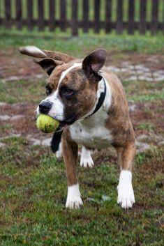 #dog #staff #ball #happy #love #baby Pitbulls, Happy, Dogs, Animals, Animales, Animaux, Pitt Bulls, Pet Dogs, Pit Bulls