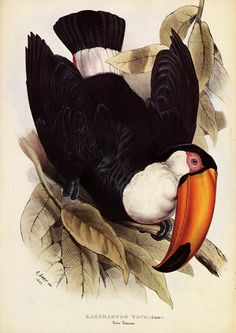 """Edward Lear, illustration of a Toucan from John Gould's Monograph, More: Online exhibition """"Never mind the pussycat. The Ornitologycal art of Edward Lear"""" via Cornell University. """"Lear's bold design, the upside-down toucan filling the entire. Audubon Prints, Nature Illustration, Science Illustration, Free Printable Art, John James Audubon, Tropical Birds, Bird Pictures, Vintage Birds, Birds Of America"""