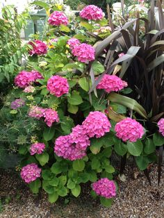 I'm going to try turning my Hydrangea blue next year!