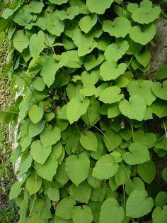 Aristolochiaceae Aristolochia macrophylla - lännenpiippuköynnös