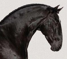 Horse Thoroughbred Lusitano (PSL)