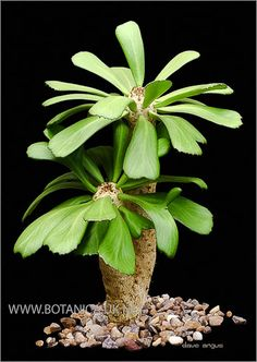 Euphorbia-unispina-2