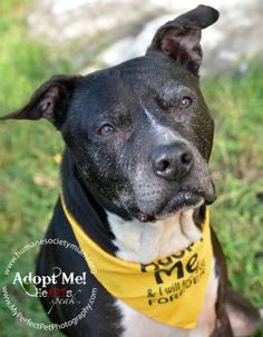 12 / 6      ****SENIOR**** Petango.com – Meet Rocco, a 7 years 7 months Terrier, American Pit Bull / Mix available for adoption in NORTH MIAMI BEACH, FL Contact Information Address  16101 W Dixie Highway, NORTH MIAMI BEACH, FL, 33160  Phone  (305) 696-0800  Website  http://www.humanesocietymiami. org  Email  David@humanesocietymiami.org