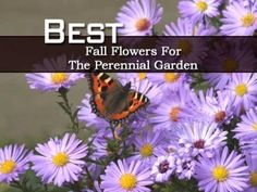 Best Fall Flowers For The Perennial Garden - Plant Care Today