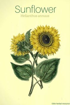 Natural Home Remedies Sunflower Helianthus annuus - Side effects and health benefits of the medicinal herb Sunflower (Helianthus annuus) and the uses of its flower petals, seeds and oil in herbal medicine. Herbal Plants, Medicinal Plants, Healing Herbs, Natural Healing, Natural Home Remedies, Herbal Remedies, Holistic Remedies, Health Remedies, Natural Medicine