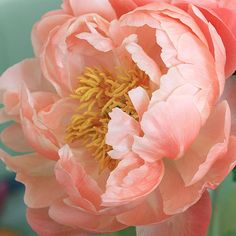 Cora by Kate Scott - Photo 37463792 / Art Floral, Peony Flower, Flower Art, Peony Painting, Flower Pictures, Beautiful Gardens, Flower Power, Planting Flowers, Flower Arrangements