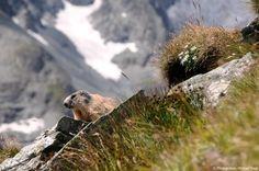 © Photoglobus, Michael Feigl, Murmeltier, Edelweiss und ein hauch Pasterze