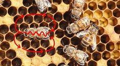 لغة تواصل النحل داخل طائفة النحل طرقها و انواعها المقال الأول لغة الرقص