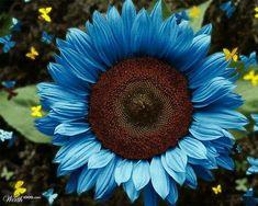 Photoshop Design by shonestar Black Oil Sunflower Seeds, Sunflower Garden, Sunflower Art, Sunflower Colors, Planting Seeds, Garden Seeds, Garden Plants, Planting Flowers, Growing Sunflowers