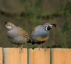 ever see a quail run? it's probably the cutest thing ever.
